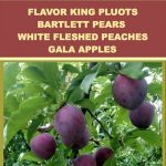 Pluots, Pears, Peaches, Apples— August 31, 2018